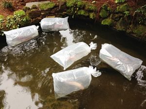 Bagged koi for donation post