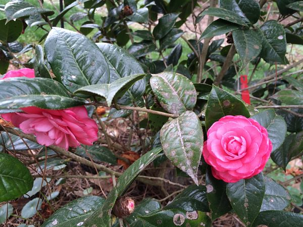 Camellia-edithae-dongnan-shan-MBG-Liz_opt