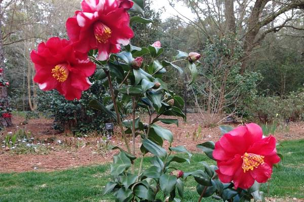 Camellias slider