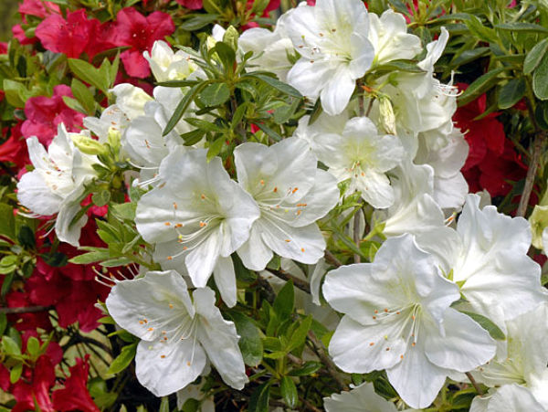 rhododendron-irish-creme-re_opt