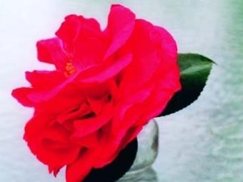 Camellia japonica 'Vernon E Howell'