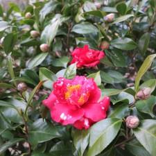 Camellia japonica 'Paulette Goddard Variegated'