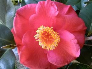 Camellia japonica 'Gunsmoke'