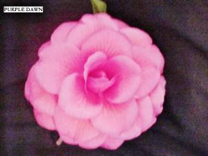 Camellia japonica 'Purple Dawn'