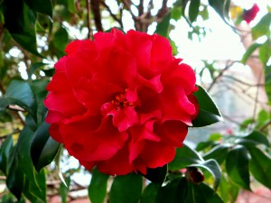 Camellia japonica 'Satsuma Kurenai'