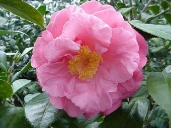 Camellia japonica 'Southern Secret'