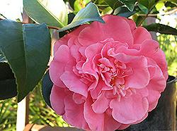 Camellia japonica 'Spellbound'