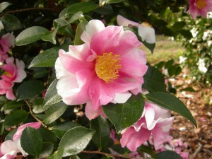 Camellia sasanqua hybrid 'Dream Team'