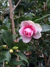 Camellia sasanqua x 'Dream Weaver'