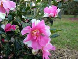 Camellia sasanqua hybrid 'Dream Quilt'