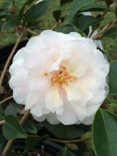 Camellia sasanqua 'Isabel Simone'