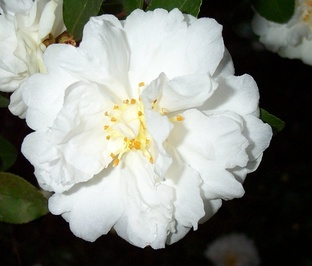 Camellia sasanqua 'Snow on the Mountain' aka  'Mine-No- Yuki'