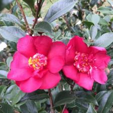 Camellia sasanqua 'Yuletide Candle'