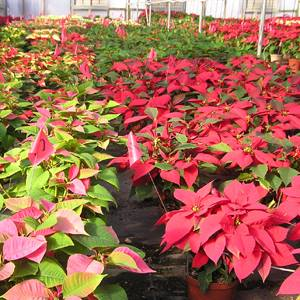 Many varieties of Poinsettias to choose from!