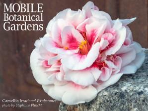 Camellia japonica 'Irrational Exuberance'