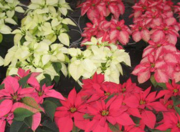 poinsettias-555x269