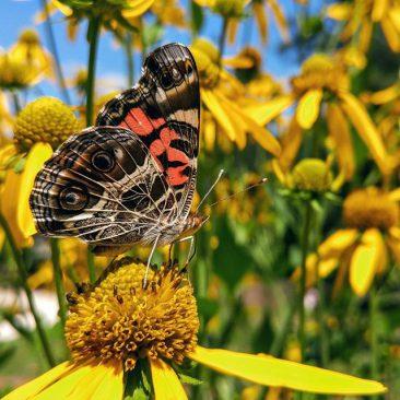 Butterfly Skipper MBG BB Aug 2015 2