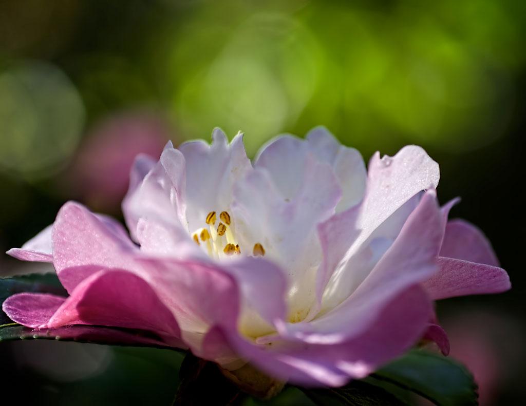 Brad-Boland-camellia1