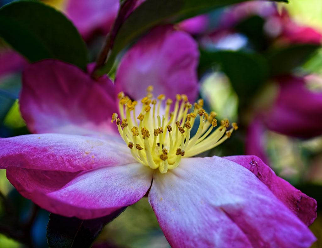 brad-Boland-camellia2