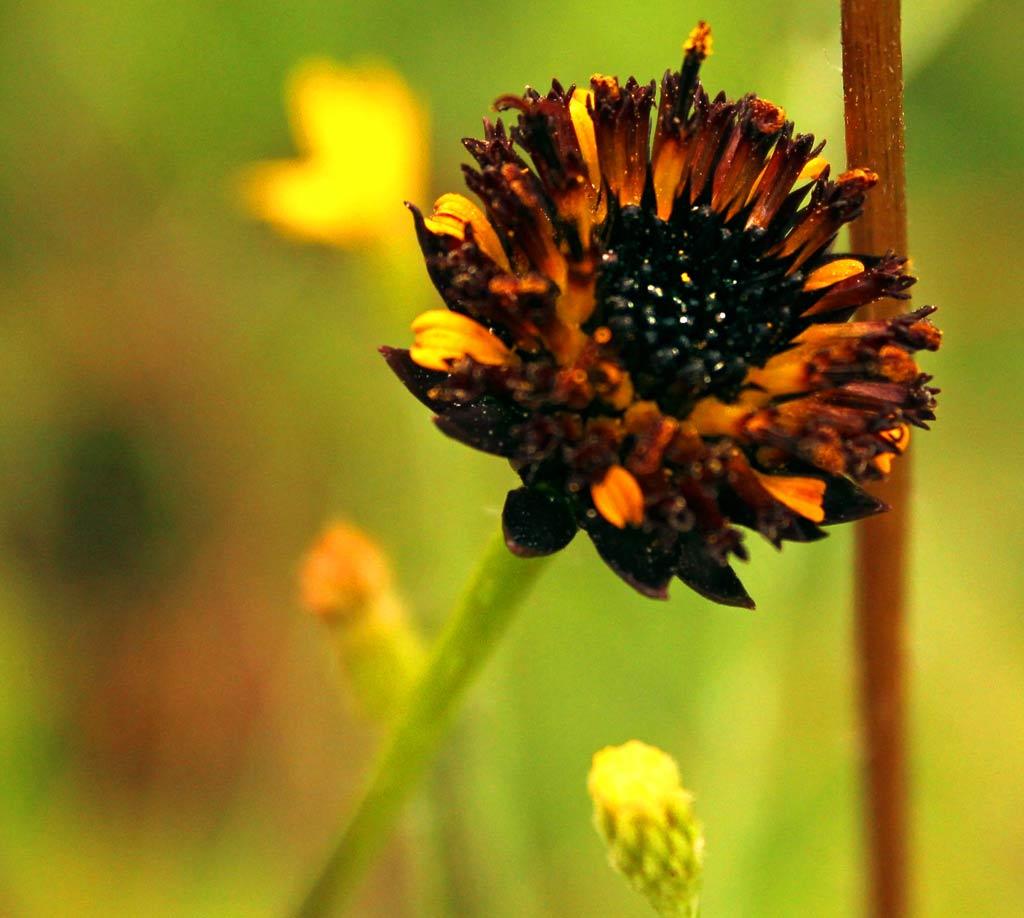raylesssunflowerclose
