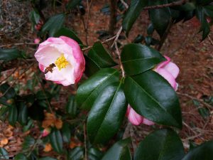 One of my favorite parts of my job is learning the stories about the plants at the garden. This is Camellia japonica 'TDN-0091', which is probably an unnamed seedling from Tom Dodd Nursery out in Semmes. Goodness knows how it came to be at MBG (and that will be the next step!), but we're certainly glad it's here. It's made of stunningly perfect layers of pink.