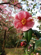 camellia-japonica-t