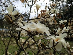 magnolia-sp