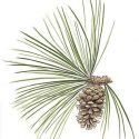 America's First Industry – Longleaf Pine and the Historic Naval Stores Industries