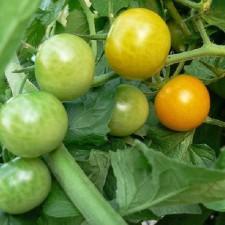 Sungold Tomato