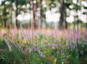 Longleaf Pine Forest - Copyright Elizabeth Gelineau