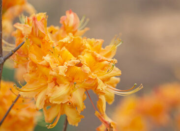 Aromi azalea, Copyright Elizabeth Gelineau
